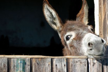 Hungry Donkey By